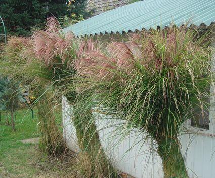 Pampafű