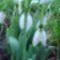 Hóvirág az udvarunkban ...