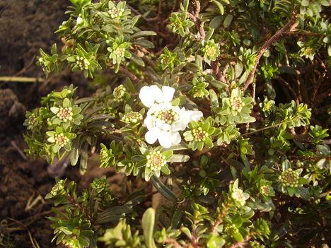 Évelő tatárvirág