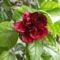 Kinai rózsa