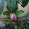 Pirosló hunyor (Helleborus purpurascens) ???