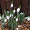 Pompás hóvirág (Galanthus elwesii)