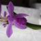 Kerti Orchidea