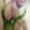 Lila tulipánok 002