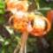 Turbán liliom