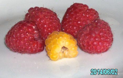 Érik az egyszer termő piros és a kétszer termő sárga málna.