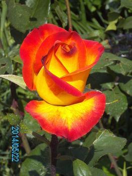 Kedvenc rózsám.