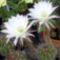 Virágzó_kaktuszok