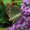 Pillangó, nyári orgona