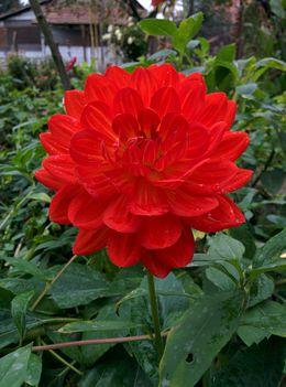 Nagyvirágó dekor pompon piros dália