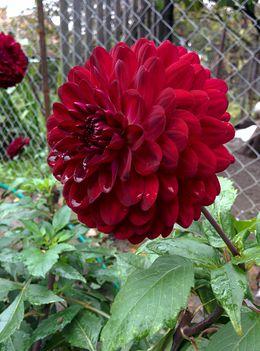 riás virágú dekor  sötét bordódália