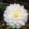 riás virágú fehér dekor dália