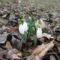 DSCelső hóvirágF3005
