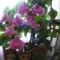 Lepke orhidea