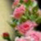 rózsa-026