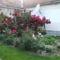DSCF0030 Nyilnak a rózsák