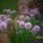 snidling hagyma virágzáskor