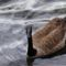 Kanadai vadlúd Ontárióban