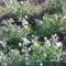 Virágban a borsó