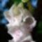 foxglove, digitalis