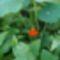 Tropaeolum majus ( kerti sarkantyú)