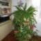 A szobapáfrányom