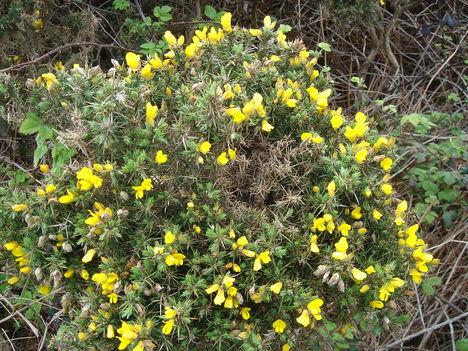 Kép 291    Atenger virága