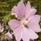 petőfi virág
