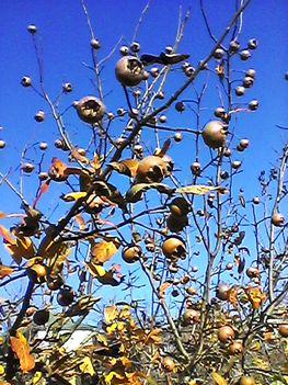 November utolsó gyümölcse a kertből
