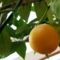 Narancsfa a verandán.