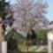 A császárfa 2018 májusi virágzása