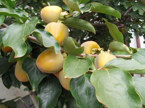 Gyümölcs 6