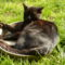 egy tálca cica 008