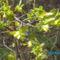 Szibériai mézbogyó virága