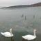 Hattyúk a Balaton jegén