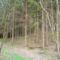 Kondorfai fenyves erdő aljában...