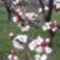 Virágzó barackág