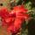 a kínai rózsám virágja