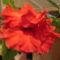 Kínai rózsa 1 1 Virágzás