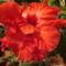 Kínai rózsa 1 2 Virágzás