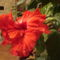 Kínai rózsa 1 3 Virágzás