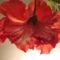 Kínai rózsa 1 4 alulról