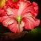 Kínai rózsa 1 6 virág alulról