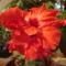 Kínai rózsa 1 7 Mégegy virág