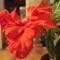 Kínai rózsa 1 8 virágzás