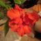 Kínai rózsa 1 9 virágzás