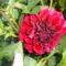 Szépséges virágaim egy része 1