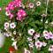 Szépséges virágaim egy része 7