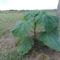 Ősszel ültetett egy éves császárfa