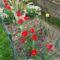 piros tulipa